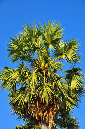palmyra palm: Borassus flabellifer, Asian Palmyra palm or Toddy palm or Sugar palm or Cambodian palm Stock Photo