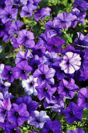 petunia: Purple Petunias flower