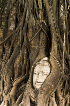 Head of Sandstone Buddha overgrown by Banyan Tree, Ayutthaya historical park, Thailand. Stock Photo - 14323896