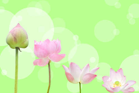 pink water lily flower (lotus) and green background photo