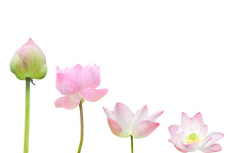 lotus flowers:  Isolate pink water lily flower (lotus)  Stock Photo