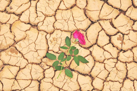 red soil: Red rose on cracked ground