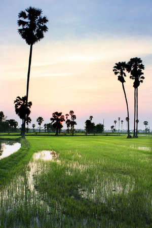 silhouette of sugar palm tree on rice field photo