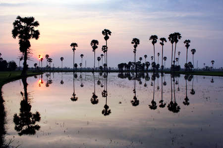 sugar palm: silhouette of sugar palm tree on reflection Stock Photo
