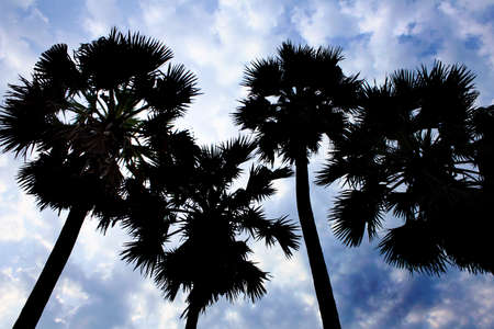 sugar palm: silhouette of sugar palm tree