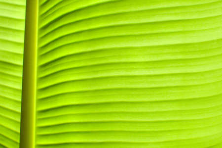 veining: banana leaves Stock Photo