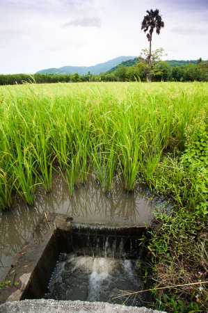 Draining water  in rice field irrigation, Thailand  photo