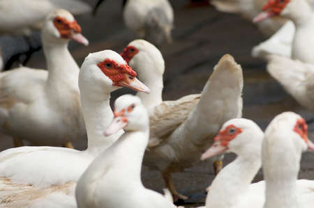 muscovy duck: Domestic Muscovy Duck, Cairina moschata Stock Photo
