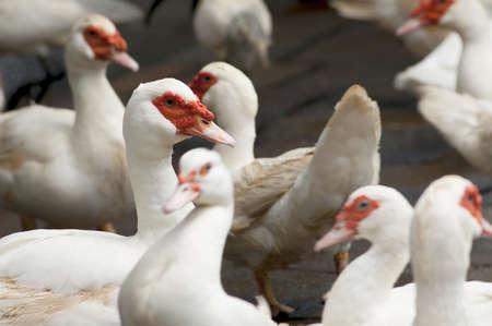 domestic duck: Domestic Muscovy Duck, Cairina moschata Stock Photo