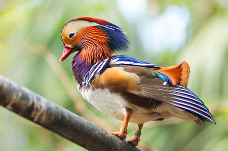 palmate: Colorful Mandarin duck on wood branch Stock Photo