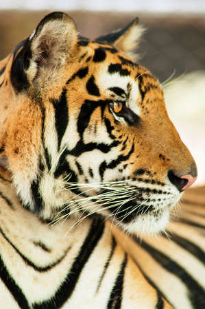 Picture of tiger side Stock Photo