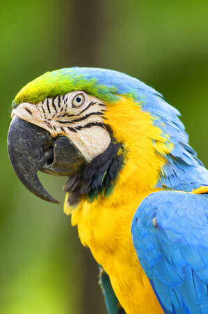 Portrait of Parrot Macaw photo