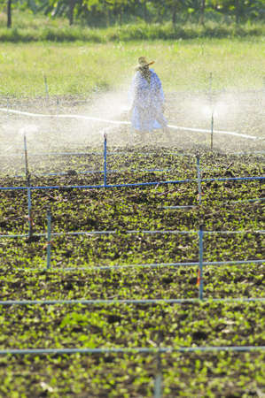 irrigated: farmer ware wet protection suit walking in sprout field that  irrigated with sprinklers
