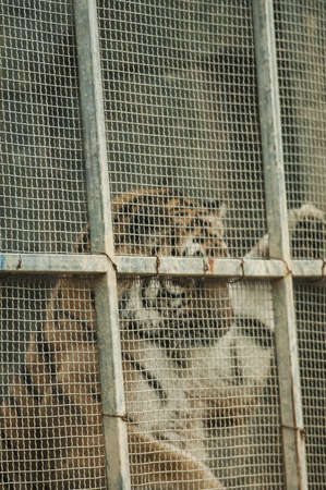 Bengal tiger in cage photo