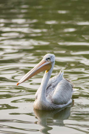 Large pelican in the pond photo