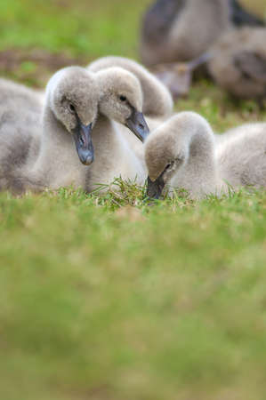 Family of young swans photo
