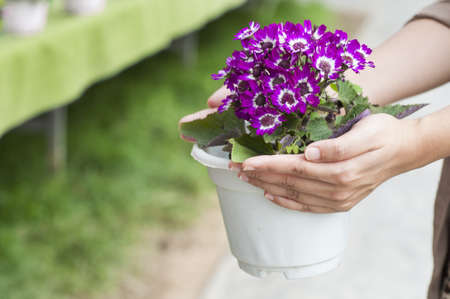 Hand holding up spring daisy flower ( bellis perennis ) in a flower pot photo