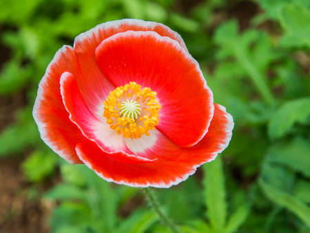 Top view of red poppy photo