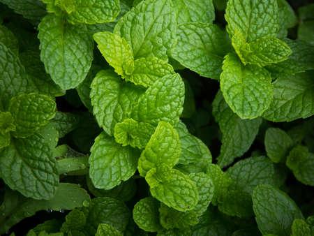 fresh green mint leaves Stock Photo