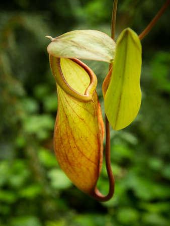 plants species: Nepenthes pianta carnivora