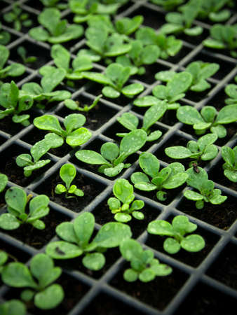 soil conservation: Young sprouts in nursery tray wait for planting Stock Photo