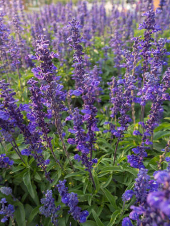 Flowerbed of Blue Salvia photo
