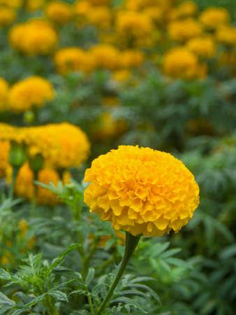 marigold: Yellow abstract Marigold flower . Stock Photo