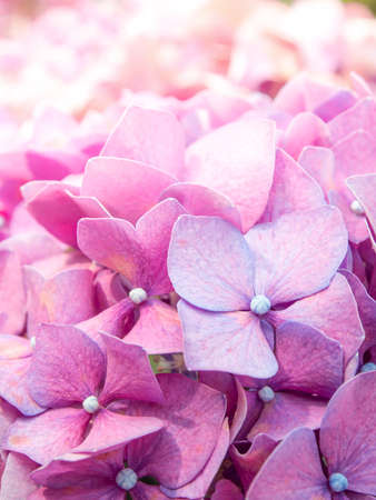 The Closed-Up Pink Hydrangea photo