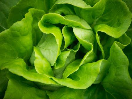 Fresh green Lettuce background