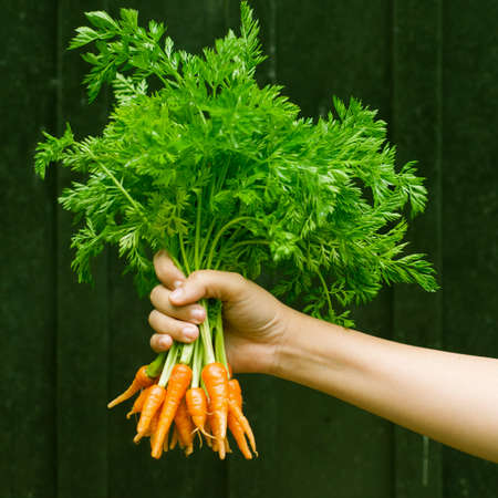Bunch of organic baby carrots in hand. photo
