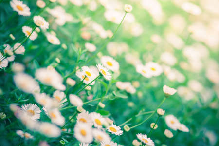 Little white Daisy, selective focus, filtered process photo