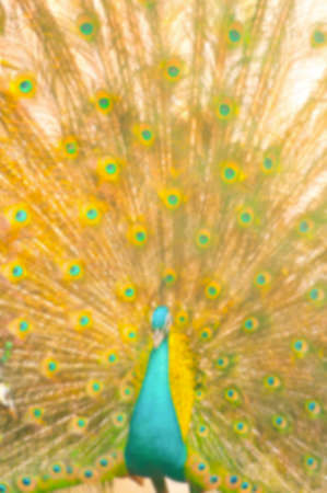 flaunt: Blur background image of beautiful peacock with sunlight