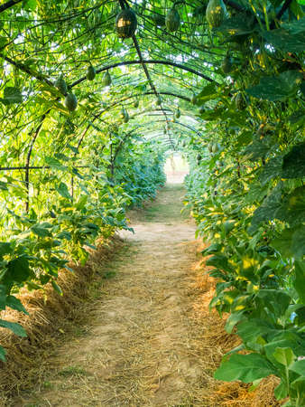 pergola: Green tunnel pergola with climbing plant fruits