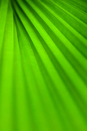 dof: Abstract line texture of green palm leaf. Shallow DOF