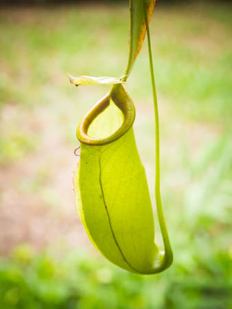 carnivorous: Nepenthes tropical pitcher plant (carnivorous plant)