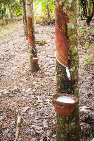 rubber plant: Tapping latex from a rubber tree Stock Photo