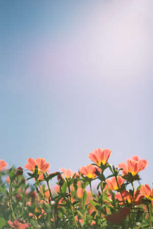 Red summer flower with blue sky background, vintage image processed