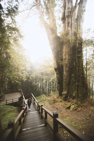 walk board: The No.28 Famous red cypress tree in Alishan National Scenic Area trail. The tree ages is over 2000 years old.