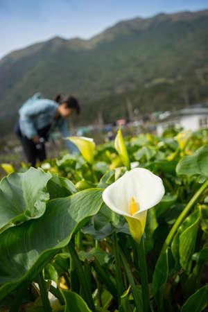 Calla lily field with blur tourist on background at Zuzhihu, Yangmingshan, Taiwan Stock Photo