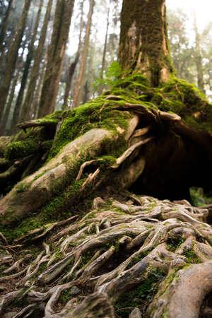 tronco: raíces de los árboles en un bosque verde