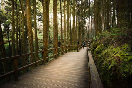 Traveler walking on Alishan National Scenic Area Walkboard path in Red Cypress forest.