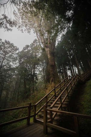 national scenic trail: The No.28 Famous red cypress tree in Alishan National Scenic Area trail. The tree ages is over 2000 years old. Vintage image processed.