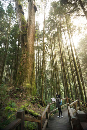 Traveler taking picture of old big cypress tree in Alishan National Scenic Area Red Cypress forest.