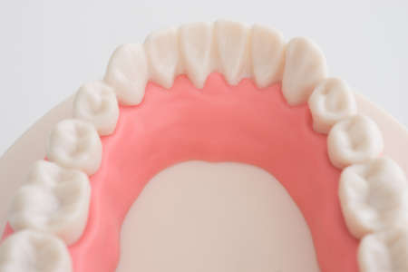 Artificial dental model on white background Stock Photo