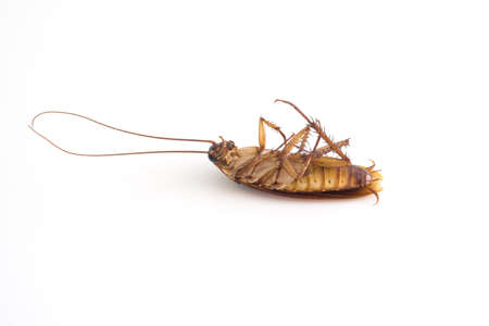 Died cockroach on white background. 版權商用圖片