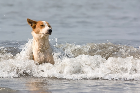 inflow: The dog with red stains bathes in inflow waves.  Stock Photo