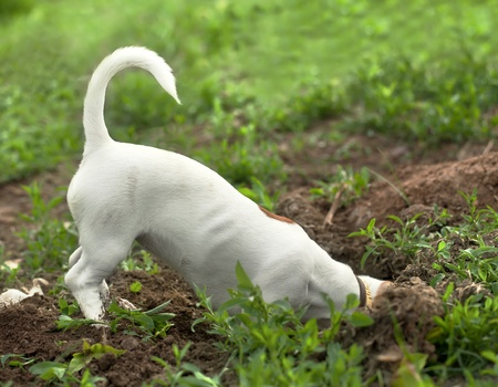the puppy of jack russel thrust the head into a hole Фото со стока