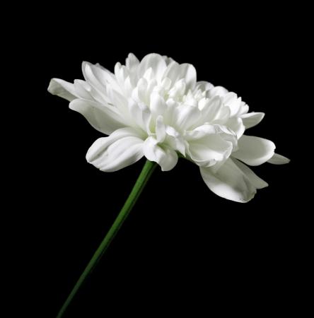 whiteness: chrysanthemum on a black background