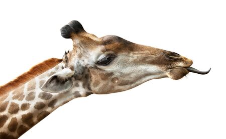 giraffe put out tongue, is isolated on a white background Фото со стока