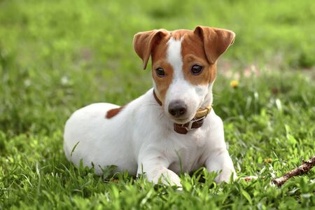 russell: jack russel on a green spring grass